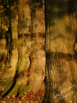 tree trunks in a row in the sunshine depth of field