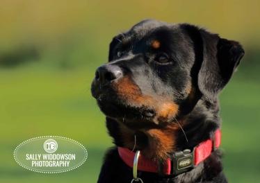 Roo Proctor doberman dog portrait head shot forward angle red collar Sally Widdowson Photography